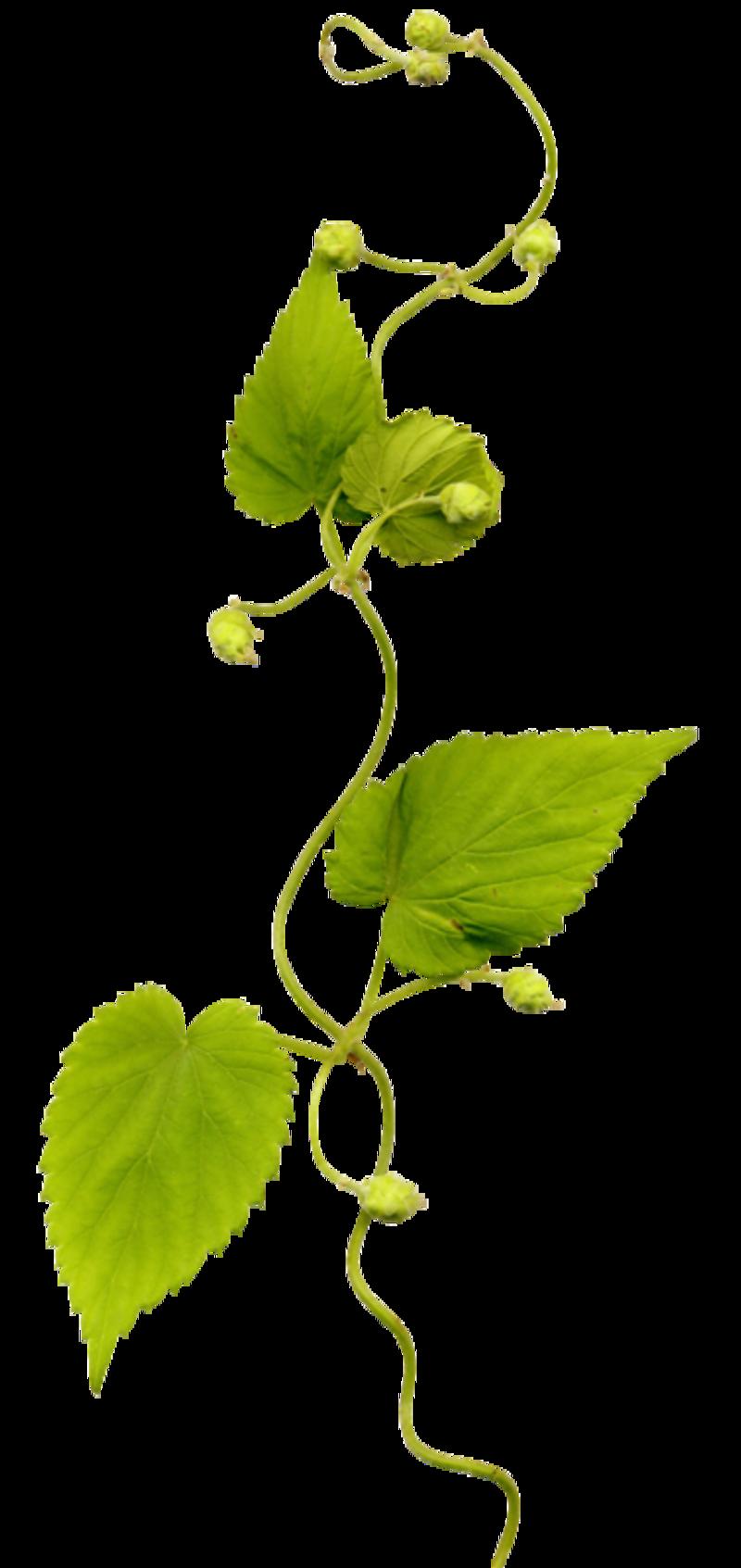 Plante Grimpante Dessin