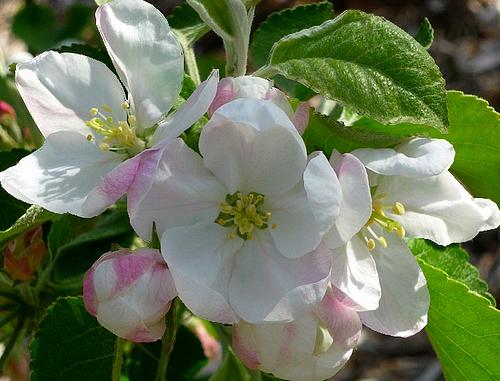 """Résultat de recherche d'images pour """"gif fleur de pommier"""""""