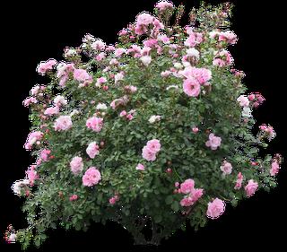 BON MARDI A TOUS .... Tube-rosier-rose